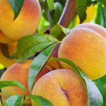 La percoca di Loconia nell'elenco dei Prodotti Agroalimentari Tradizionali